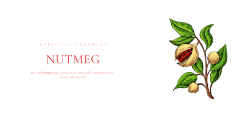 Nutmeg illustration